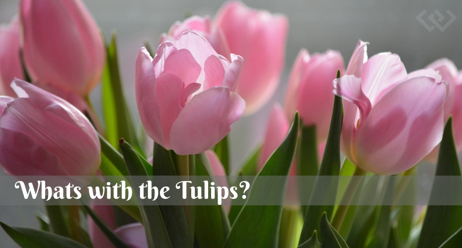Tulips, Flowers, Garden, Whidbey Island